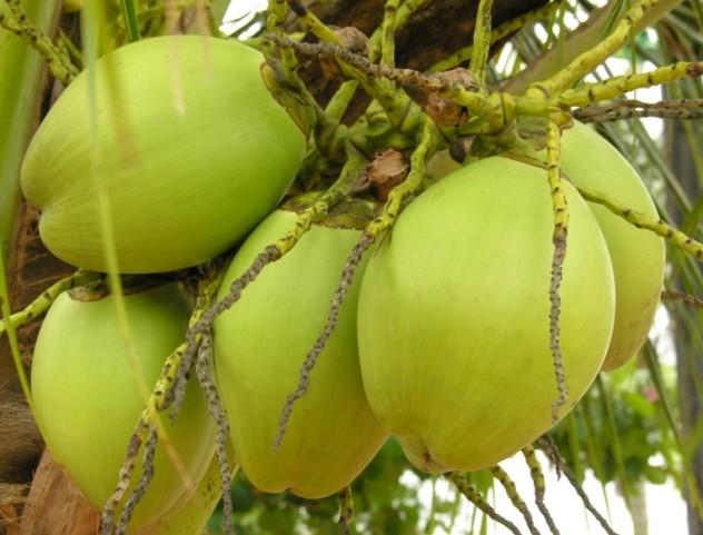 zielony kokos