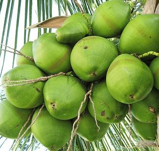 kokos zielony