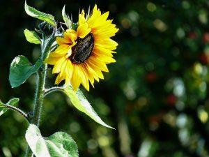 sun-flower-1429208_960_720