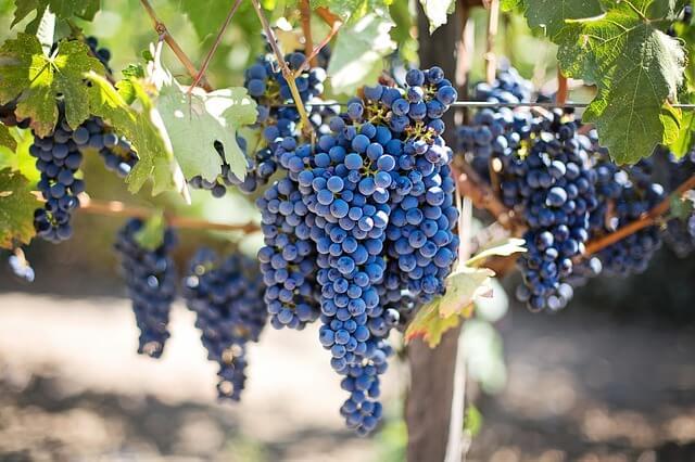zalety winogron